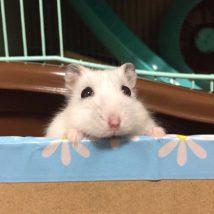 djungarian-hamster
