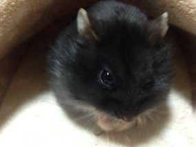 campbell-hamster