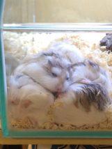 roborovski-hamsters