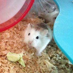 Roborofusuki-hamster