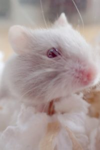 hamster-albino-color