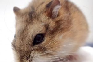 hamster-chocolate-color