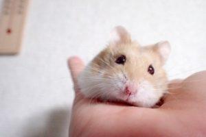 hamster-cinnamon-color