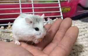 roborovski-hamster-super-white