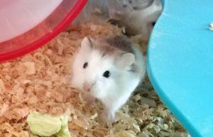 roborovski-hamster-white