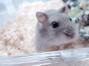 djungarian-hamster-close