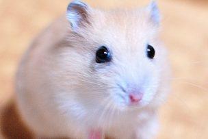 hamster-round