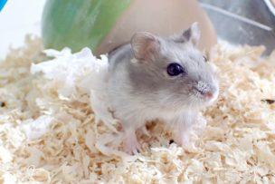 hamster-come
