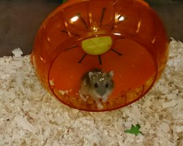 hamster-turn-Car