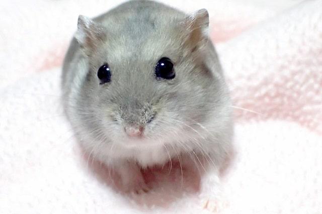 hamster-on-blanket
