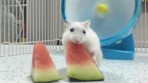 hamster-eat-watermelon