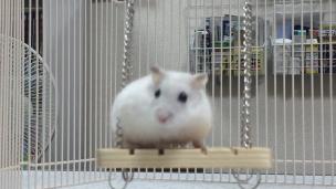 hamster-on-swing