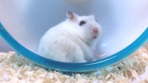 hamster-turn-around