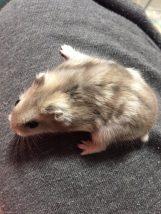 Color-Change-white-hamster