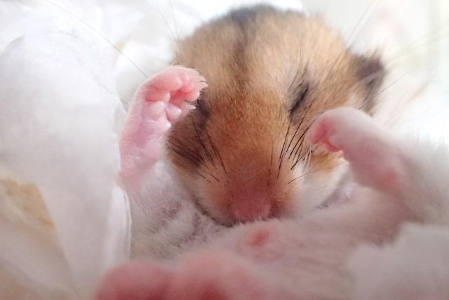 alopecia-hamster