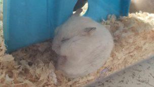 pseudo-hibernation-hamster1