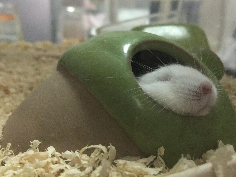 ハムスターがあくびをするのは病気なの?実は怖い生あくび