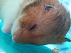 hamster-death1