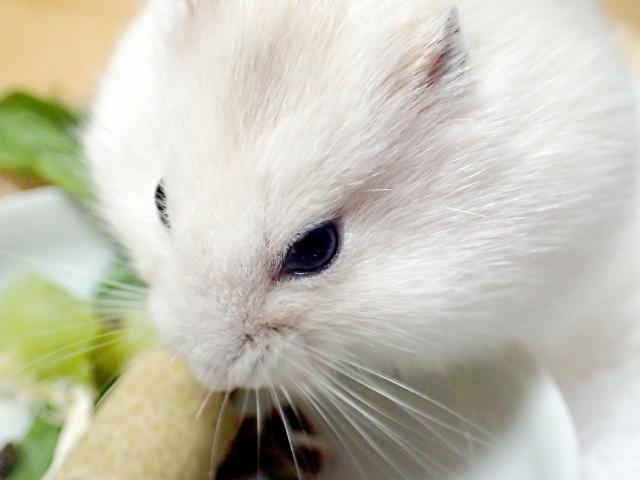 ハムスターの目が赤い!まぶたが腫れている病気の原因・予防・治療法