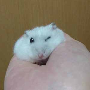 hamster-wink