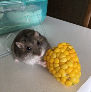 hamster-eat-corn1