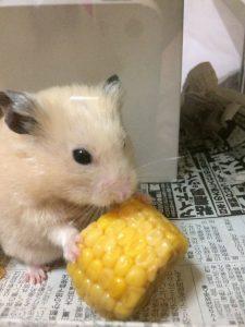 hamster-eat-corn2