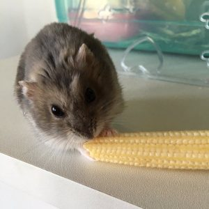 hamster-eat-yangcorn