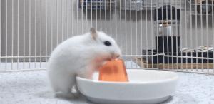 hamster-jelly2