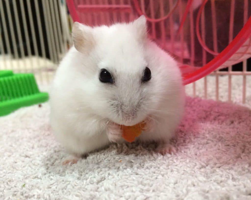 hamster-eat-Carrots1