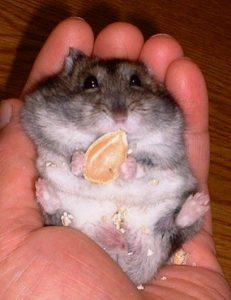 hamster-eat-pumpkin-seed