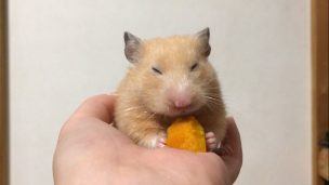 hamster-eat-pumpkin1