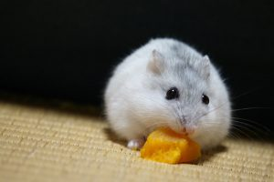 hamster-eat-pumpkin2