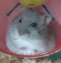 hamster-obesity1