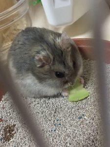 hamster-obesity2