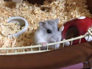 looking-hamster