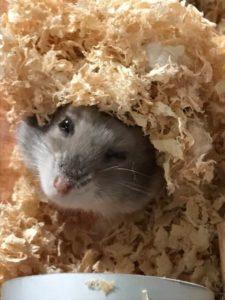 play-hamster