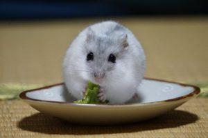 hamster-eat-broccoli-1