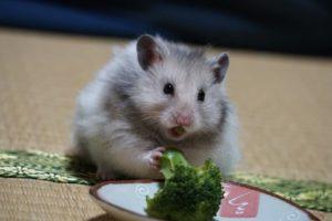 hamster-eat-broccoli-2