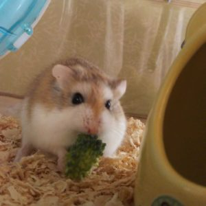 hamster-eat-broccoli-3
