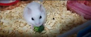 hamster-eat-broccoli-4