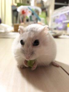 hamster-eat-broccoli-5