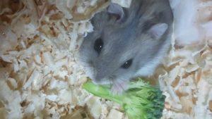 hamster-eat-broccoli-6