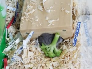 hamster-eat-broccoli-7