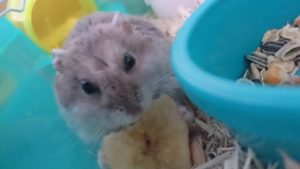 hamster-eat-banana1