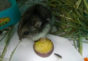 hamster-eat-potato