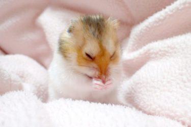 hamster-cloth