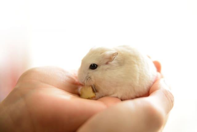 hamster-eat-apple