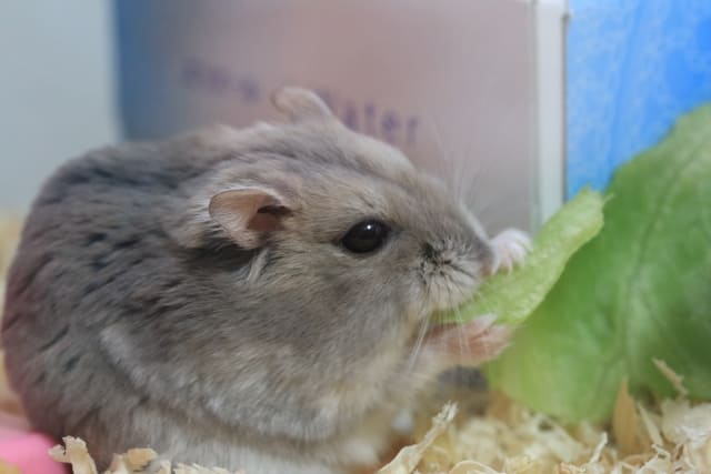 hamster-eat-chinese-cabbage