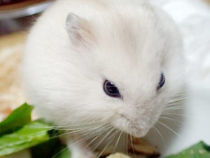 hamster-eat-chinese-cabbage2