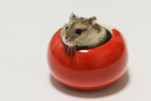 hamster-is-in-red-pottery